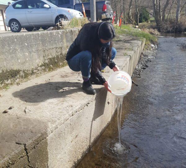 Woman releasing salmon fry into a hatchery creek